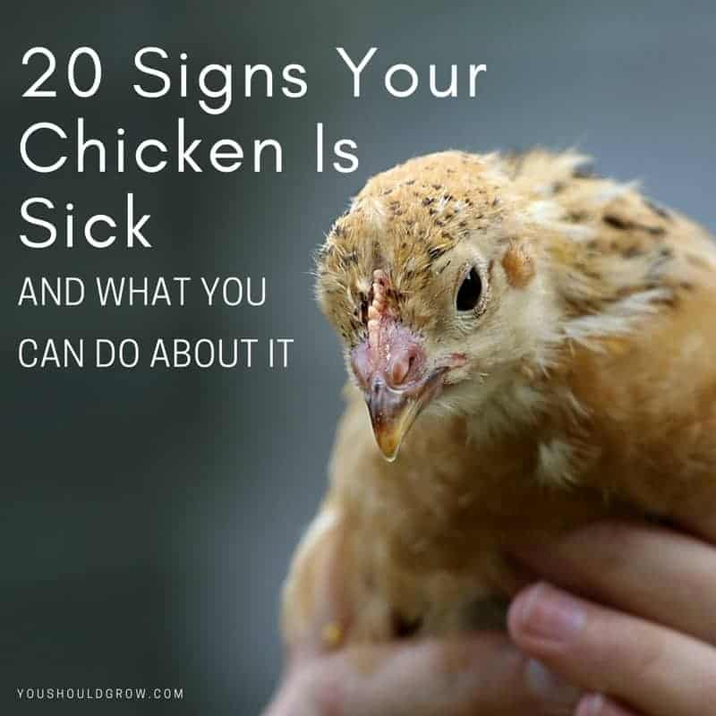 20 Signs Your Chicken Is Sick and What You Can Do About It