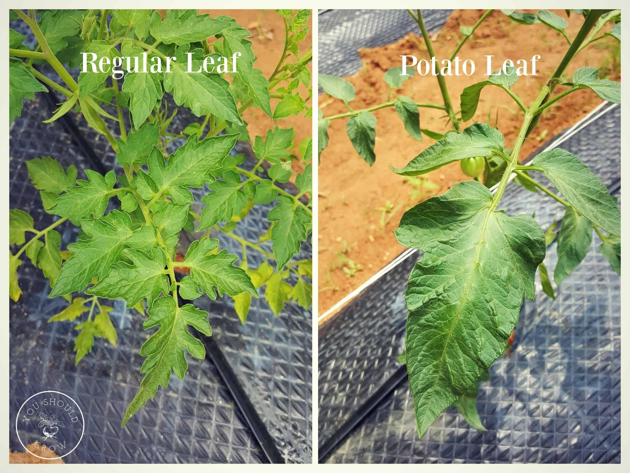 Image comparing regular leaf and potato leaf tomato plants
