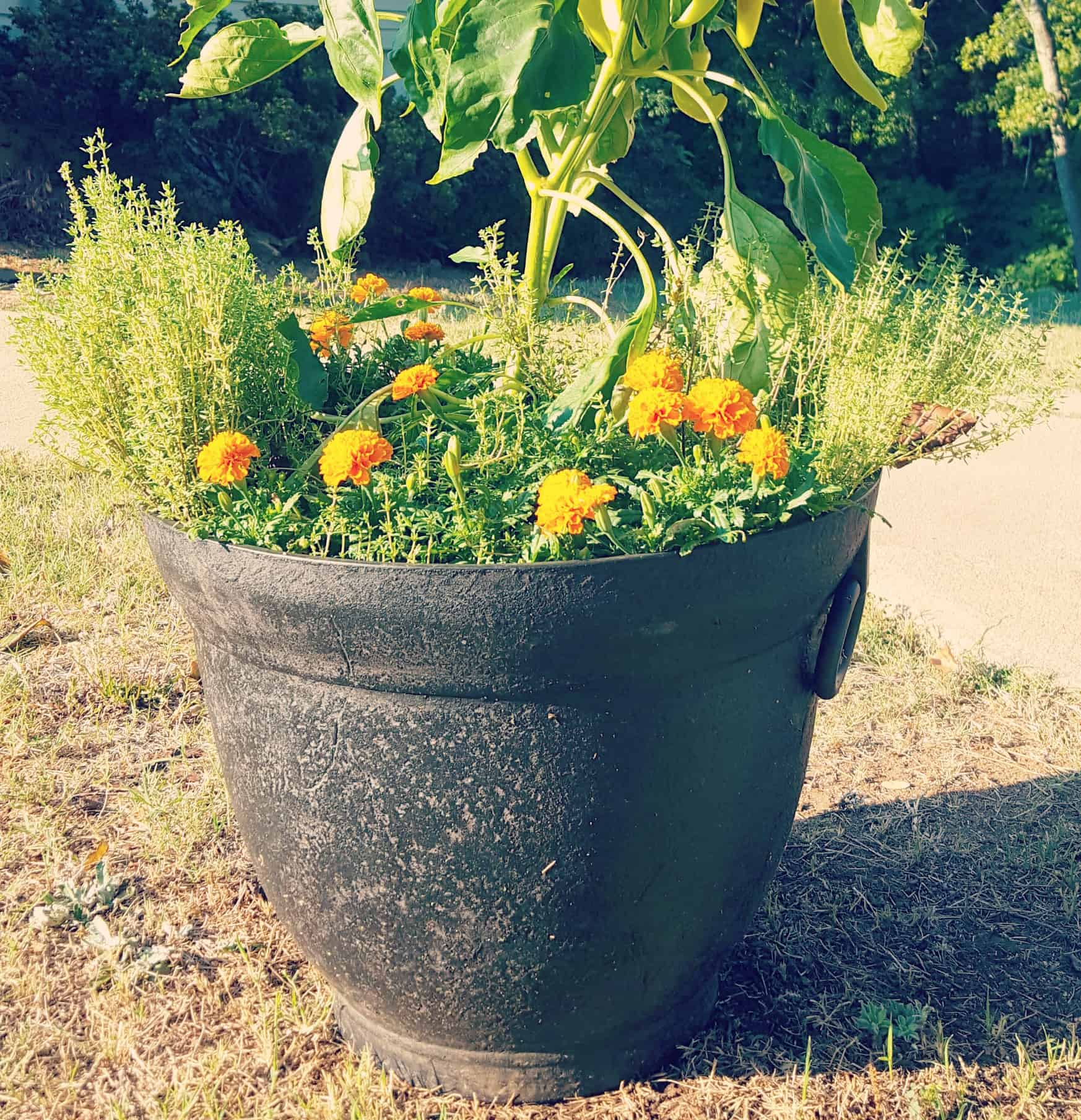 A 20 gallon planting container can grow a pepper plant plus herbs and flowers.