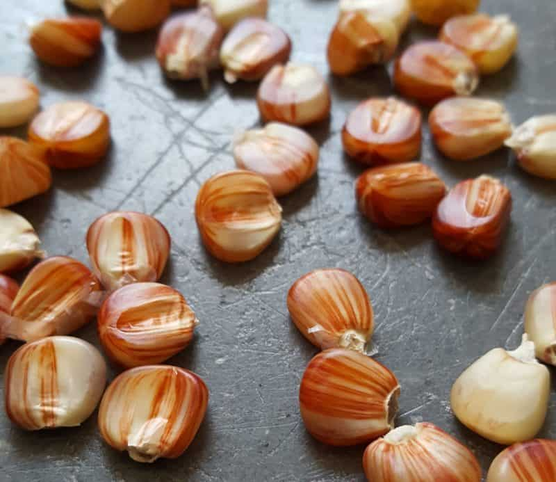 These are red striped corn kernels. Corn comes in all sorts of colors!