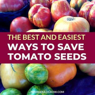 How To Save Tomato Seeds: It's Easier Than You Think