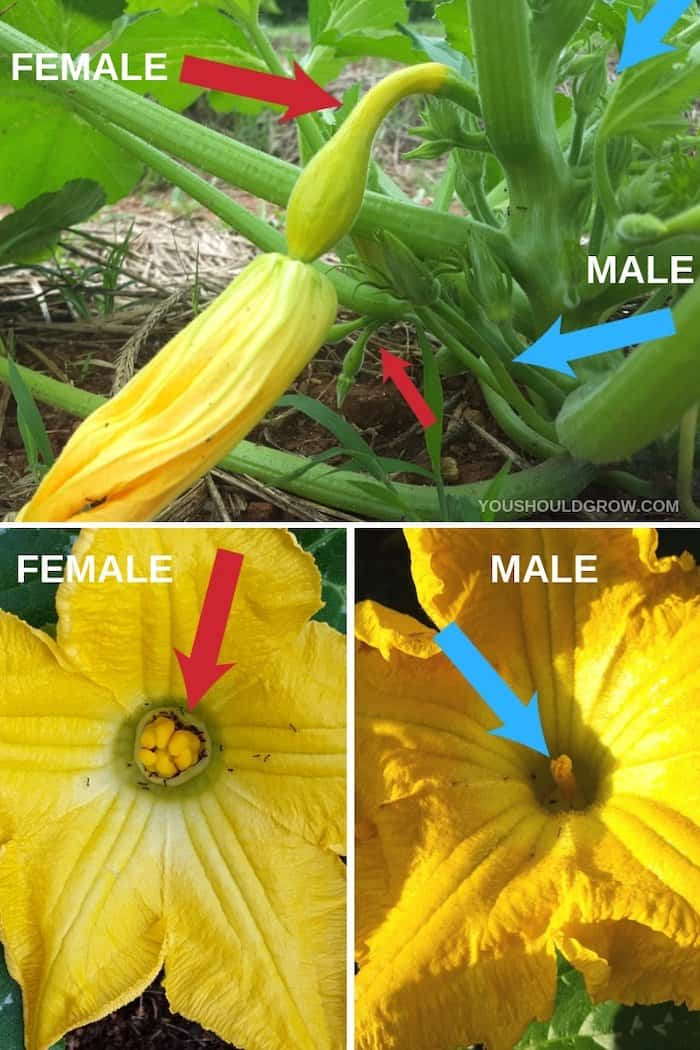 How to identify male vs female squash flowers. Yellow squash flowers with red arrows pointing to female anatomy and blue arrows pointing to male anatomy.