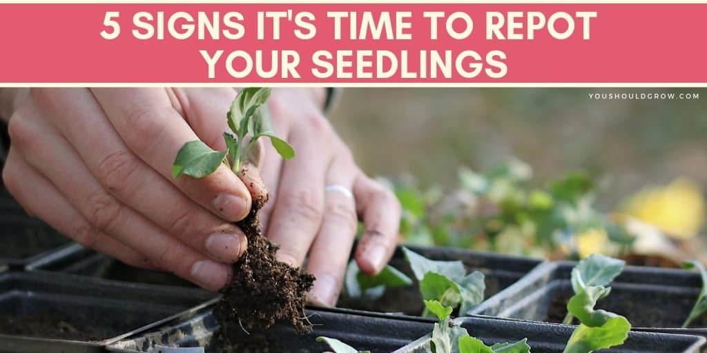 5 Signs It's Time To Repot Your Seedlings. Find out when to repot seedlings.