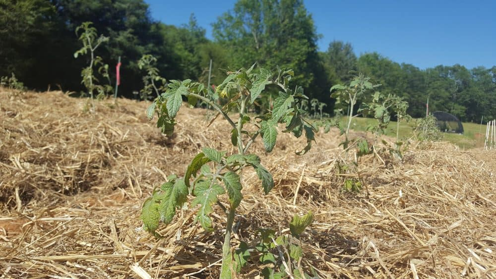 How to plant tomatoes in rows and what to put in the tomato hole