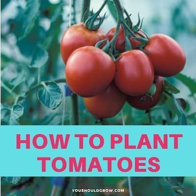 How To Plant Tomatoes (And What Goes In The Hole)