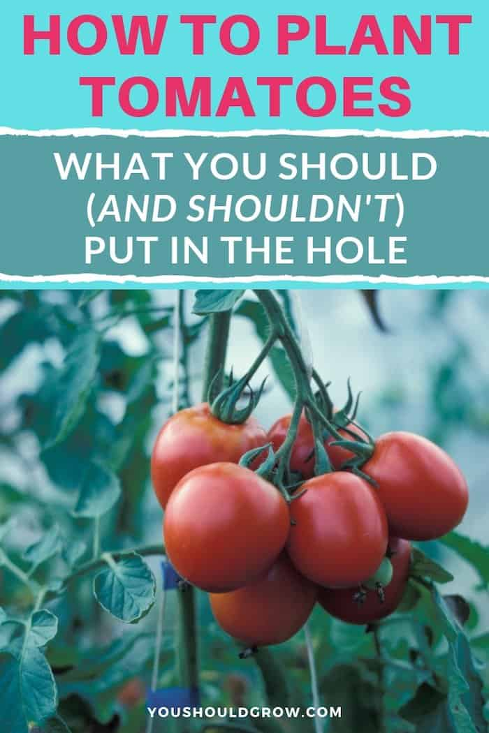 How to plant tomatoes. What you should and shouldn't put in the hole text overlaying image of tomato plant with red fruit cluster
