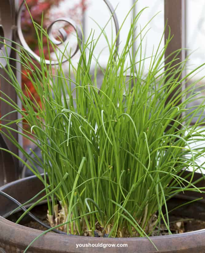 Chives growing in a container on porch