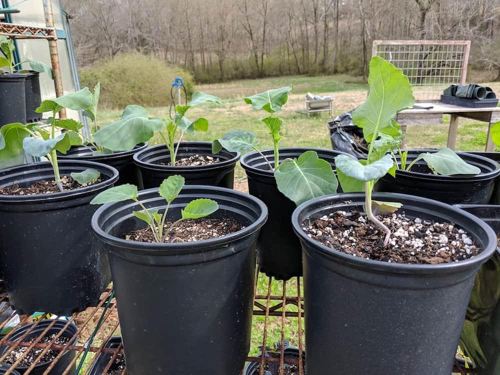 broccoli plants in black pots sitting in sunshine