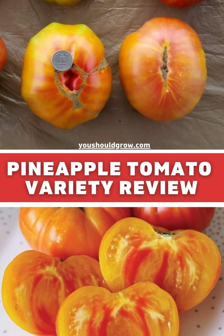 Growing tomatoes and trying new varieties is part of the fun. Here's a review of the pineapple tomato - a delicious heirloom variety you should grow! Find out what makes this tomato special and what you need to know before you grow!