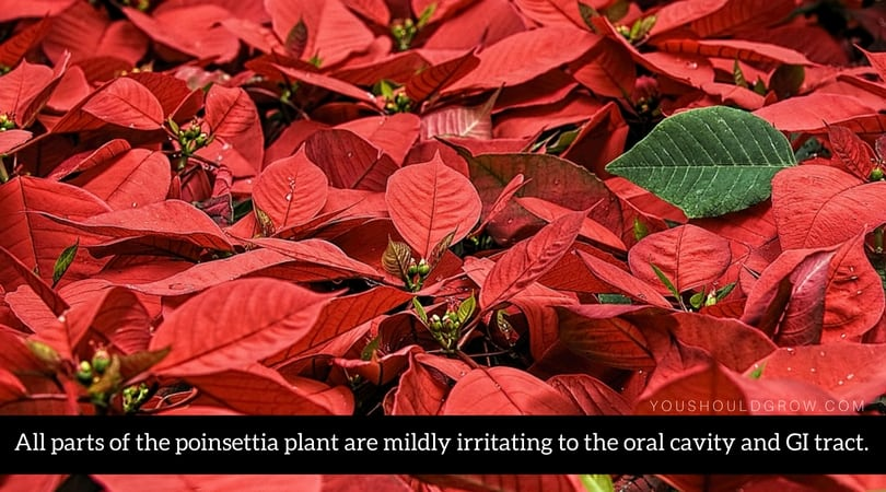 All parts of the poinsettia plant are mildly irritating to pets