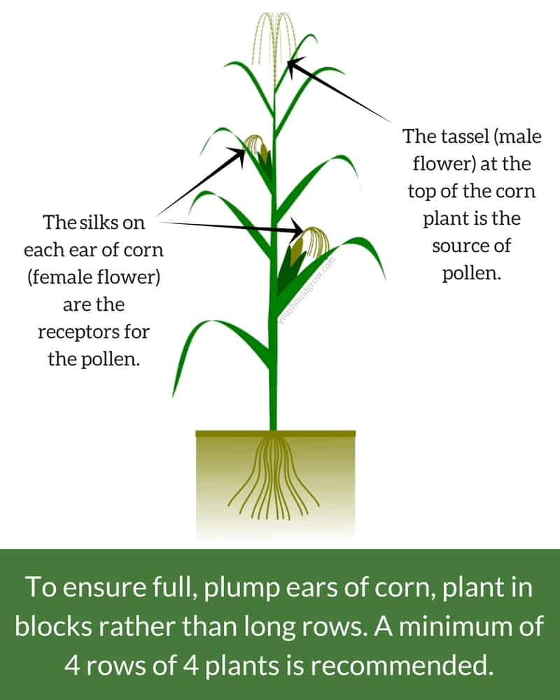 Growing Corn For The Sweetest, Plumpest Ears | You Should Grow