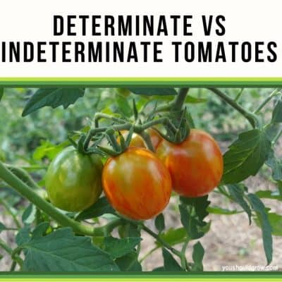 Determinate vs Indeterminate Tomatoes