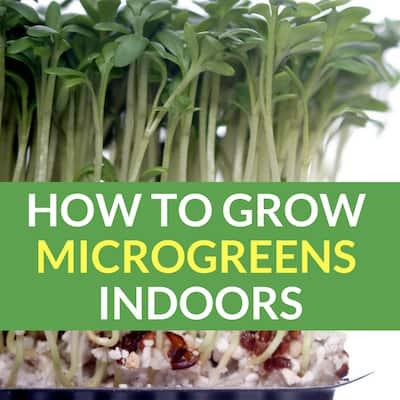 Growing Microgreens Indoors: Superfood In 2 Weeks Or Less!