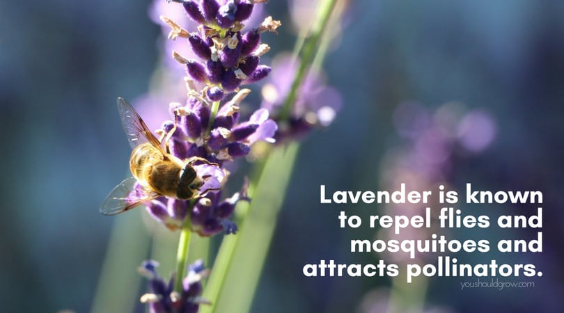 purple lavender flowers with bee