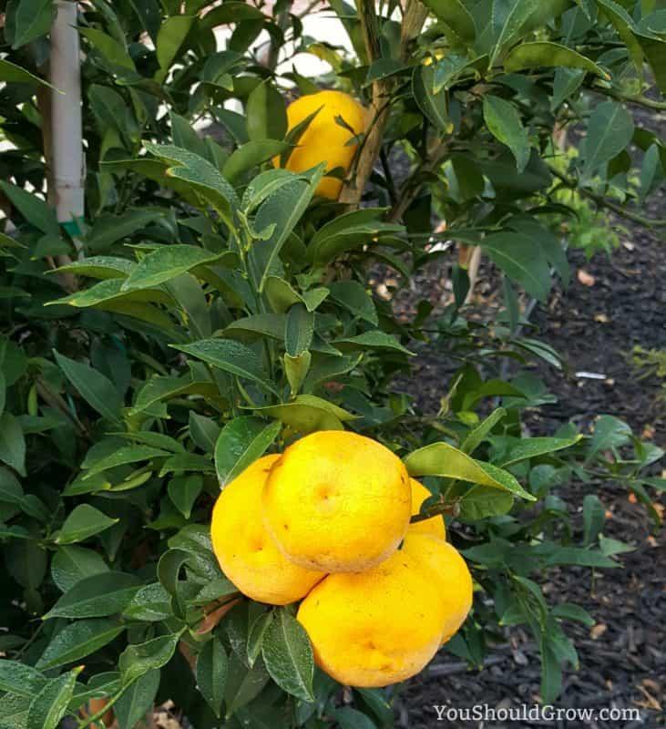 Meyer lemons growing in California, USA