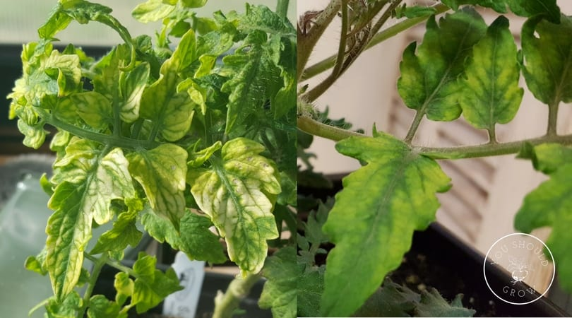 Yellow leaves with green veins indicate nutrient deficiency.