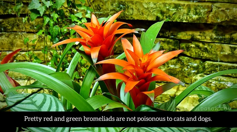Pretty red and green bromeliads are not poisonous to cats and dogs.