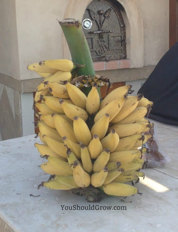 Exotic fruits you can grow at home: the banana