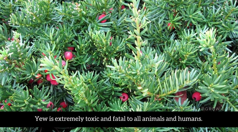 Yew is extremely toxic and fatal to all animals and humans.