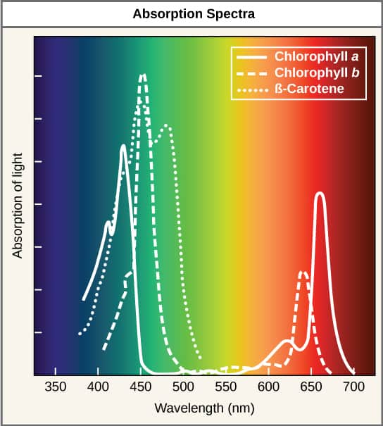 graph depicting wavelengths of light absorbed by pigments in plants.