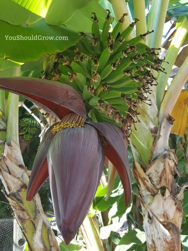 Bananas grow on huge trees!