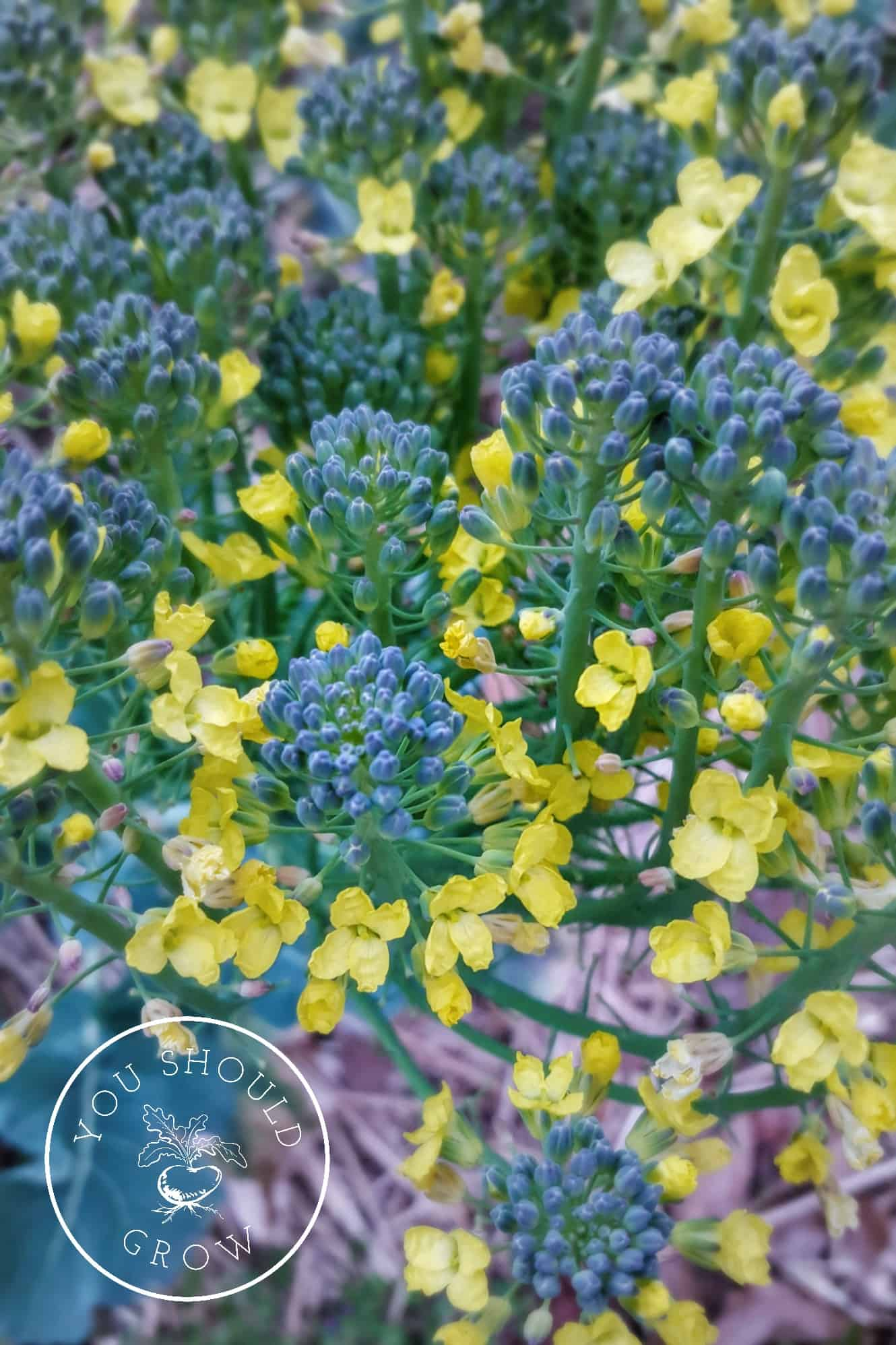 Growing broccoli tricks to grow big broccoli heads you should grow tips for growing broccoli image the delicate yellow flowers on broccolini youshouldgrow mightylinksfo