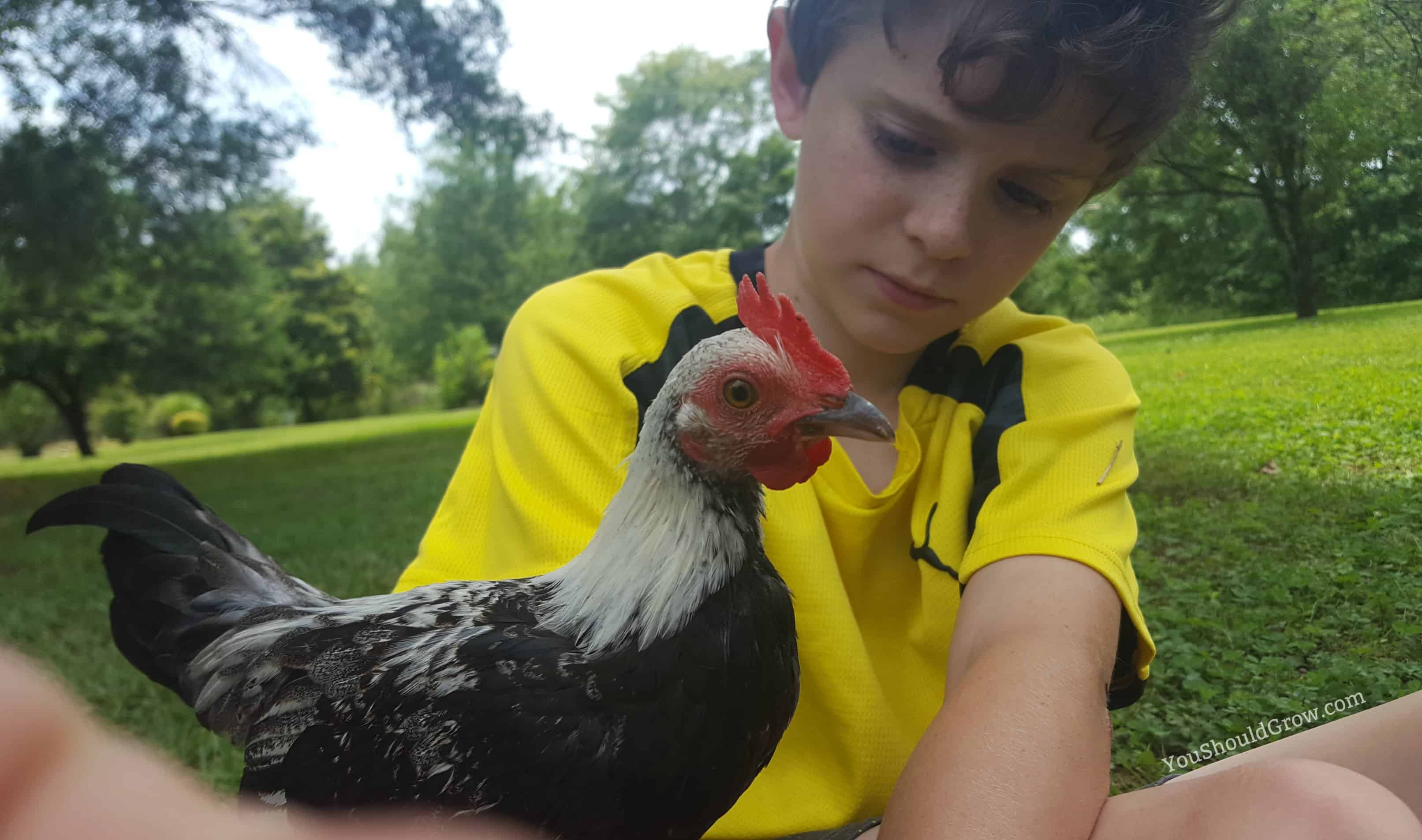 Adding chickens to your homestead for fresh meat, eggs, and pleasure.