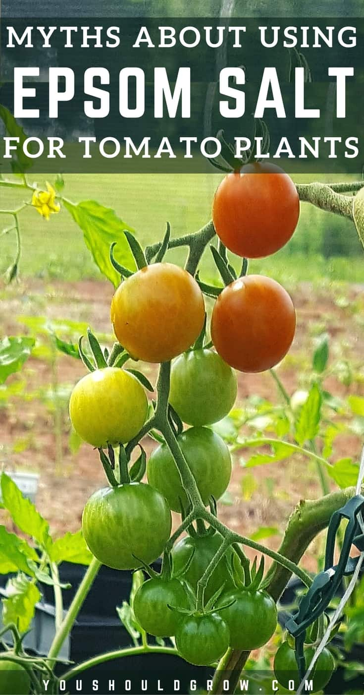 There Are Several 5 Common Gardening Myths About Using Epsom Salt For  Tomato Plants. Letu0027s