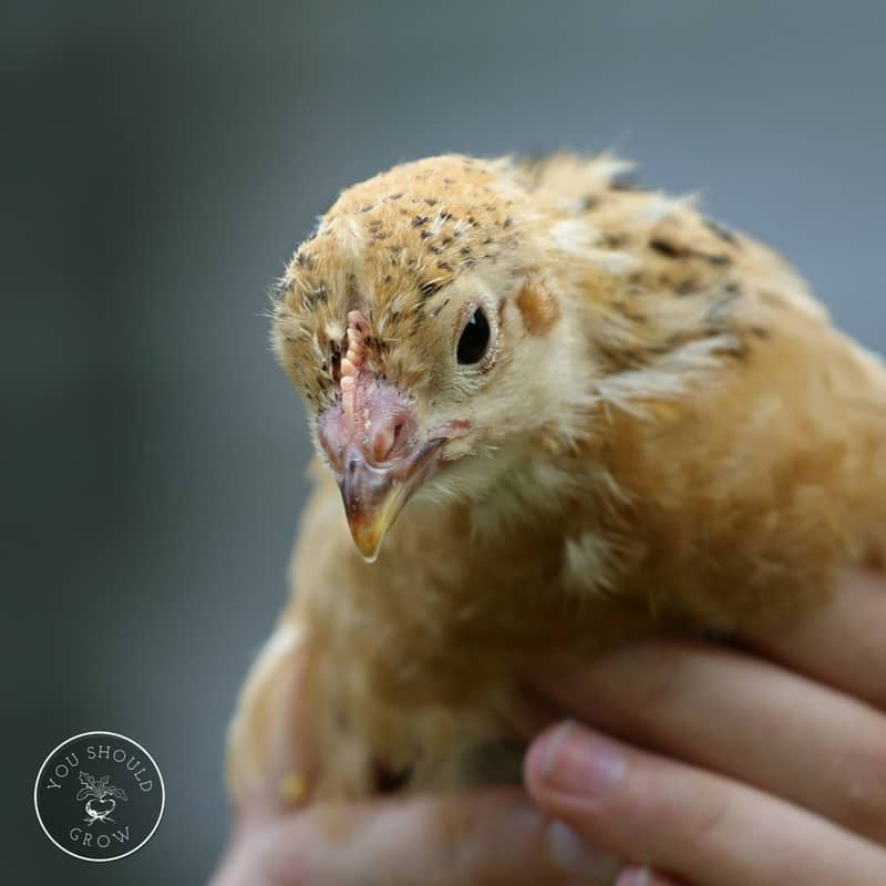 What To Keep In A First Aid Kit For Backyard Chickens
