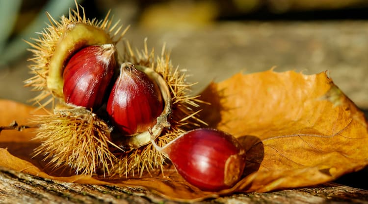 forage for chestnuts