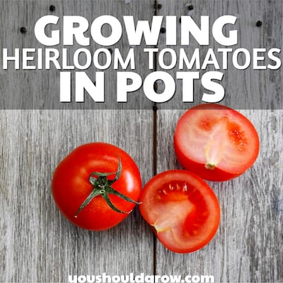 Growing Heirloom Tomatoes In Pots