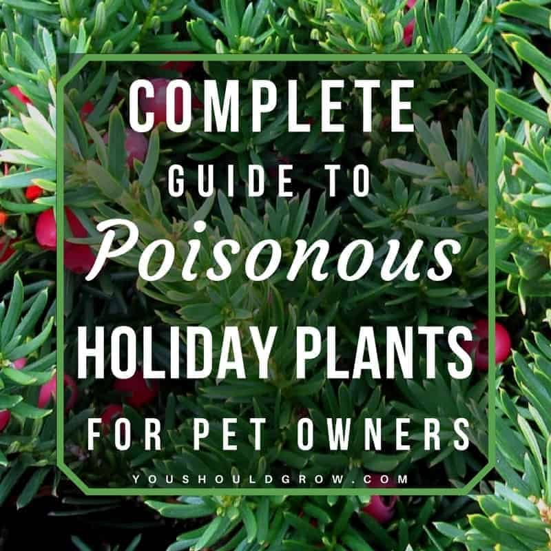 are poinsettias poisonous to cats complete veterinary guide to poisonous houseplants you should grow - Are Christmas Cactus Poisonous To Dogs