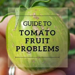 Guide to tomato fruit problems