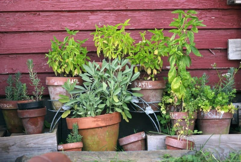 A collection of herbs growing in small pots.