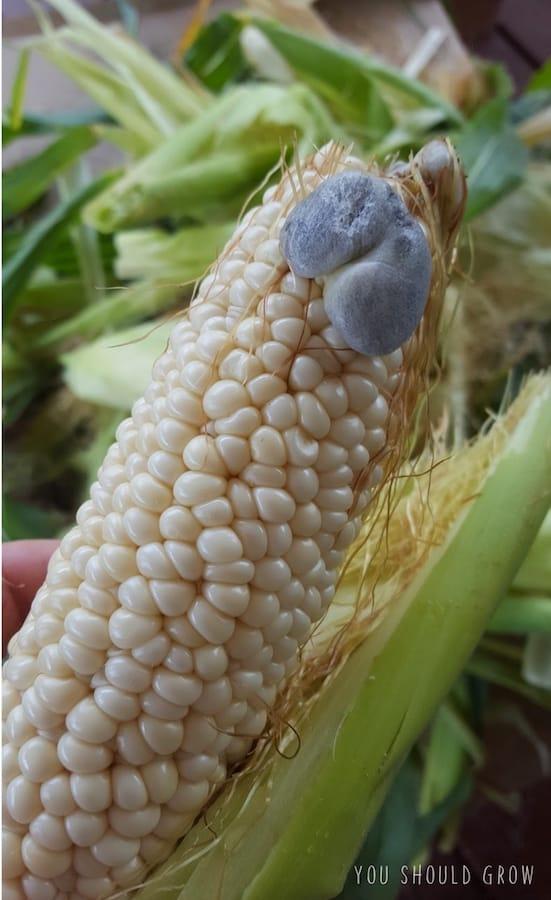 Image of corn kernels swollen from corn smut