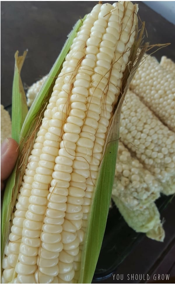 Country Gentlemen ear of corn