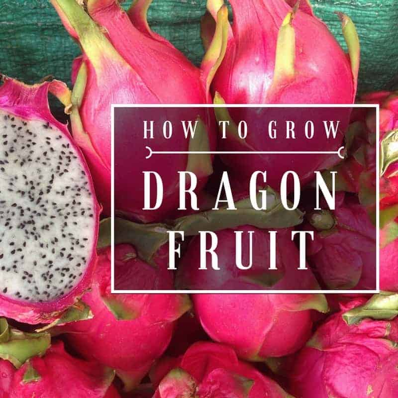 How To Grow Dragon Fruit At Home