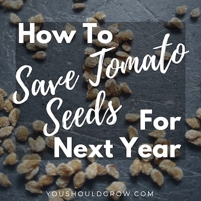 How To Save Tomato Seeds For Next Year