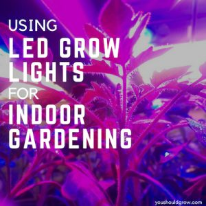 Using led grow lights for indoor gardening. White text overlaying image of tomatoes glowing purple from led lights.