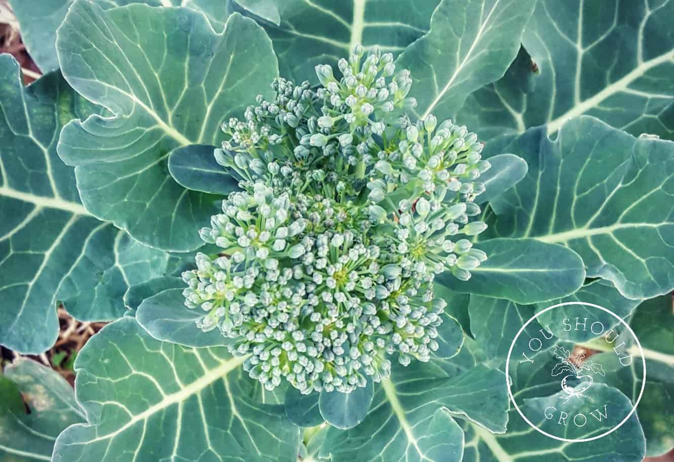 Three tricks to growing broccoli at youshouldgrow.com. Your source of encouragement and advice for growing your own food.
