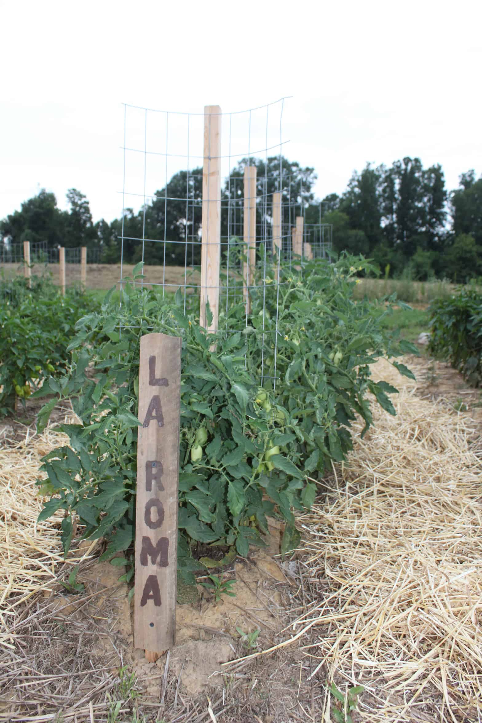 Tomato cage hybrid: stake-a-cage-romas