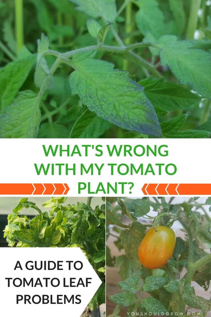 Tomato Leaf Problems  A Visual Guide
