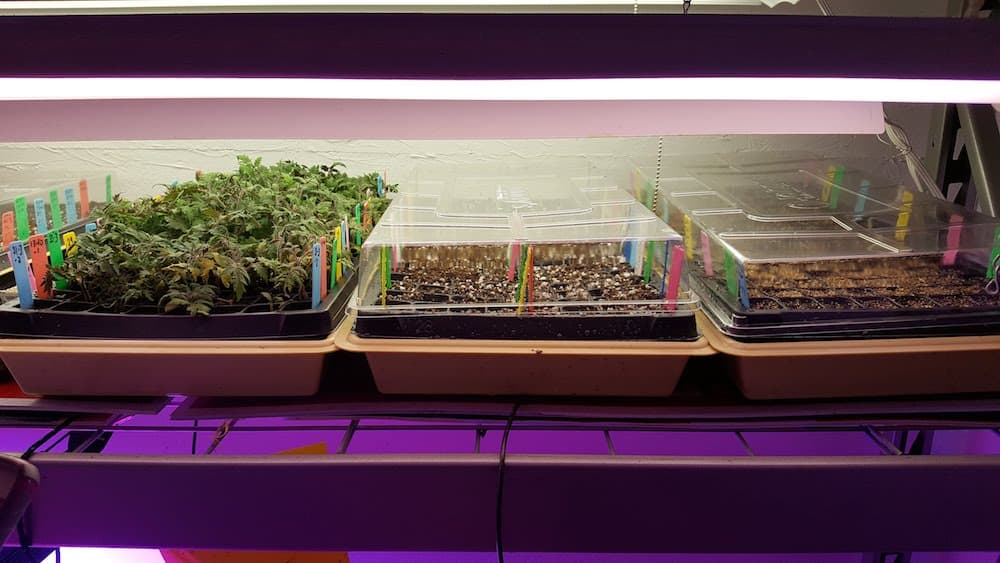 trays of tomato seed starts under light